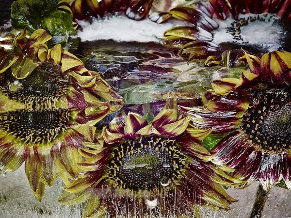 Flores congeladas viram obras de arte (5)