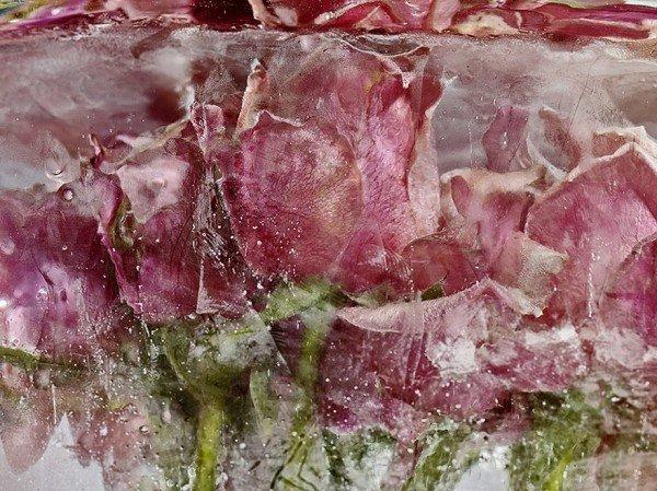 Flores congeladas viram obras de arte (2)